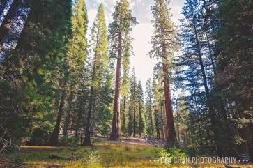 Sequoia-080